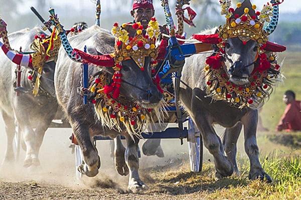 جشن بوفالوها بالی