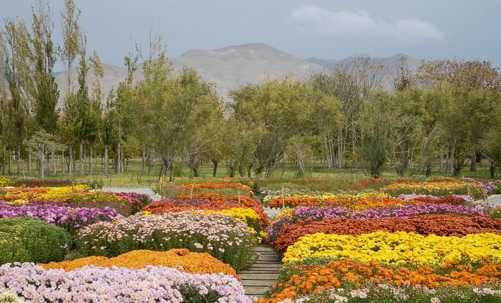 جشنواره دائمی گل های داوودی باغ گیاه شناسی مشهد